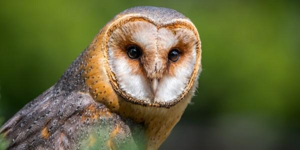 barn-owl-2550068_1280