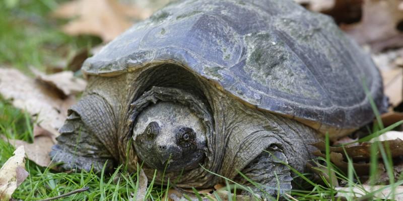 La tortue serpentine est la plus grosse tortue d'eau douce du Canada. Si vous vivez sur le bord d'un lac, d'une mare ou d'un cours d'eau, les chances sont que vous ayez déjà vu une tortue serpentine. Mais faites attention de ne pas la déranger, car sa mâchoire est coupante comme un rasoir!