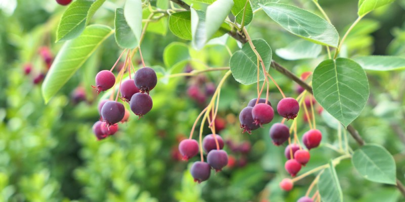 Saskatoon,Berries.,Amelanchier,Tree,Branch